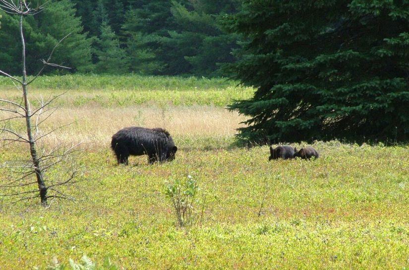 black bears eat blue berries - algonquin 6