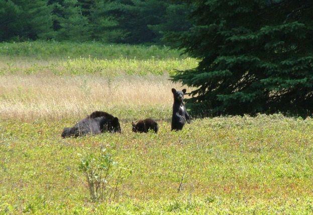 black bears eat blue berries - algonquin park 2