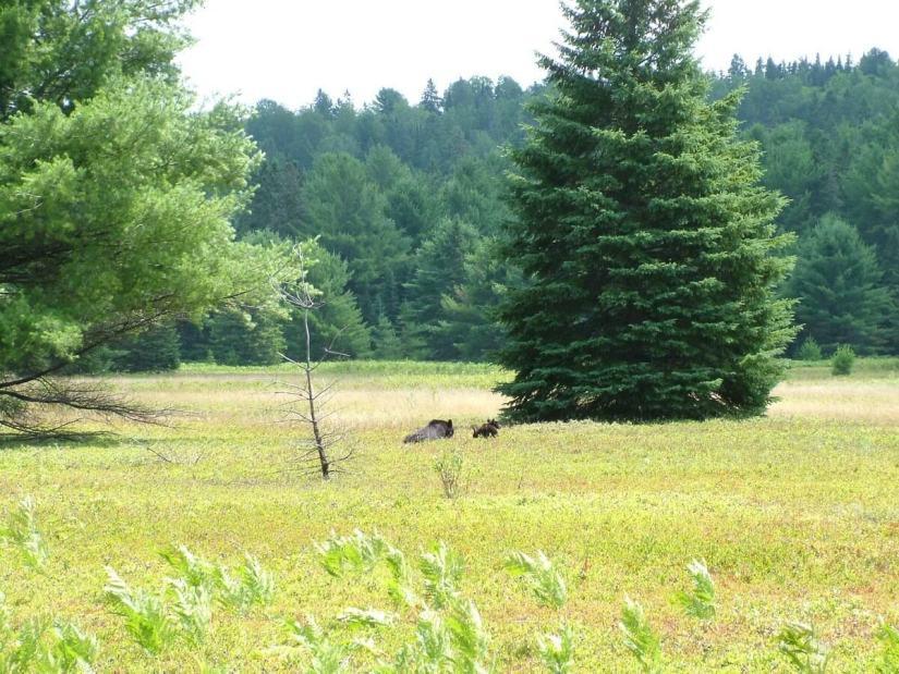 black bears in algonquin park - ontario