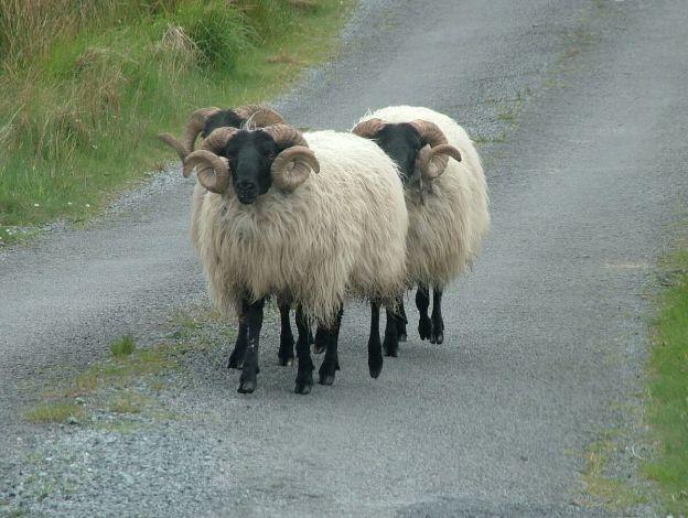 black faced sheep along minor road - emlaghdauroe - county galway - ireland 3