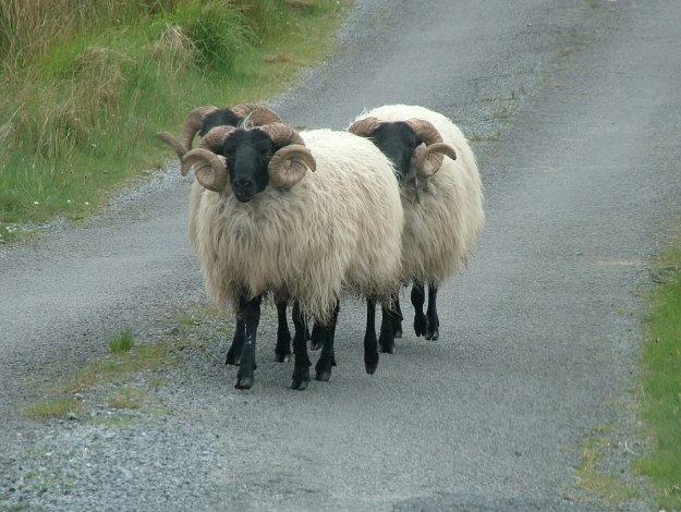 black faced sheep along minor road - emlaghdauroe - county galway - ireland 3