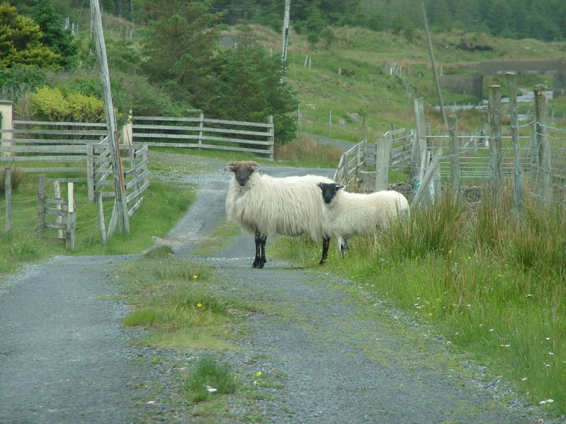 black faced sheep along minor road - emlaghdauroe - county galway - ireland 4