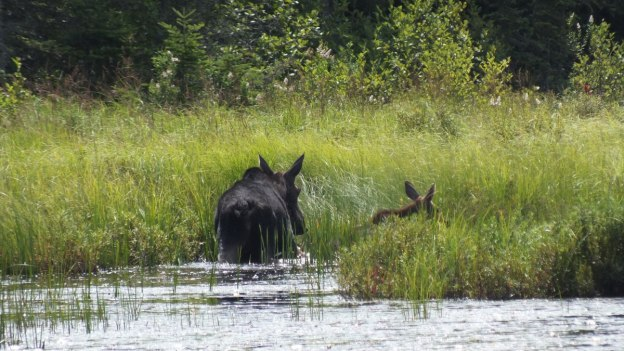 cow moose and calf - march hare lake swamp - mizzy lake trail - algonquin park 2