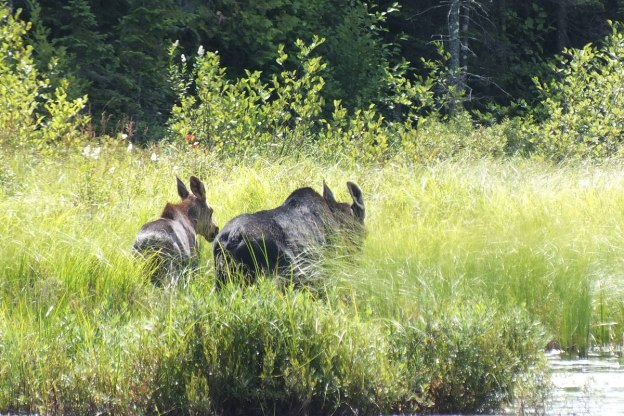cow moose and calf - march hare lake swamp - mizzy lake trail - algonquin park 3