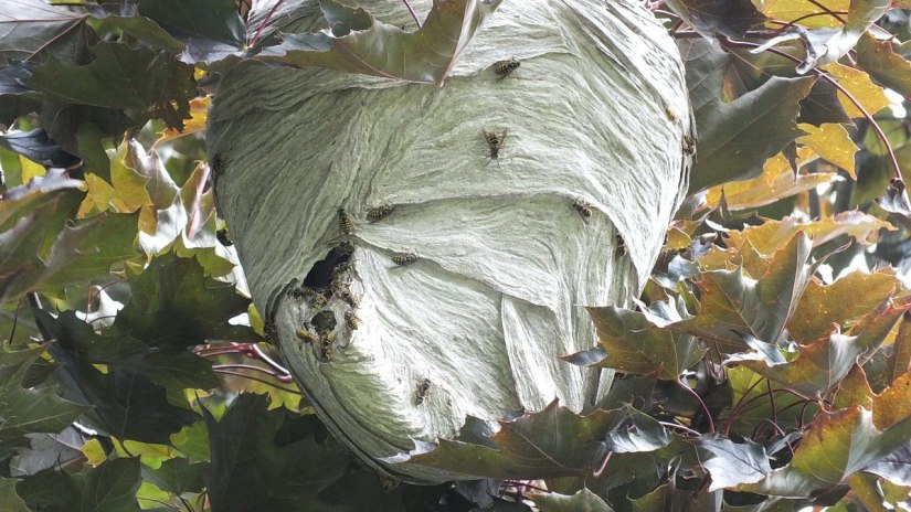 hornets nest in tree in milliken park - toronto - ontario 6