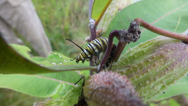 monarch butterfly caterpillar eating milkweed - tommy thompson park - toronto 2