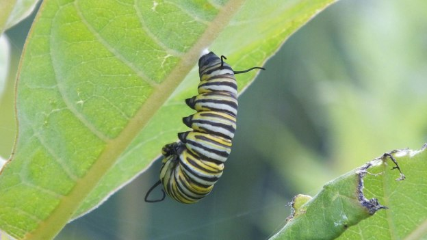 monarch butterfly caterpillar forming chrysalis at tommy thompson park - ontario 3