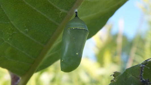 monarch butterfly chrysalis at tommy thompson park - ontario 4