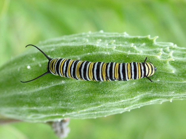 monarch butterfly larvae at tommy thompson park - toronto
