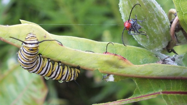 monarch butterfly larvae on milkweed - tommy thompson park - toronto 17