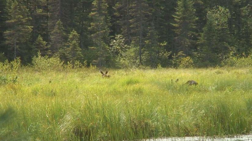 moose in algonquin park swamp - mizzy lake trail 4