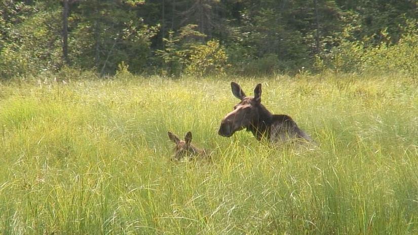 moose in algonquin park swamp, mizzy lake trail