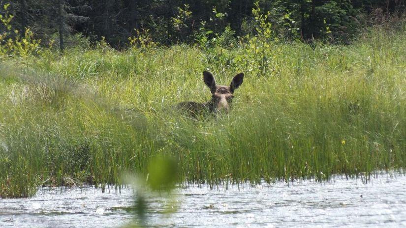 moose in algonquin park swamp - mizzy lake trail 6
