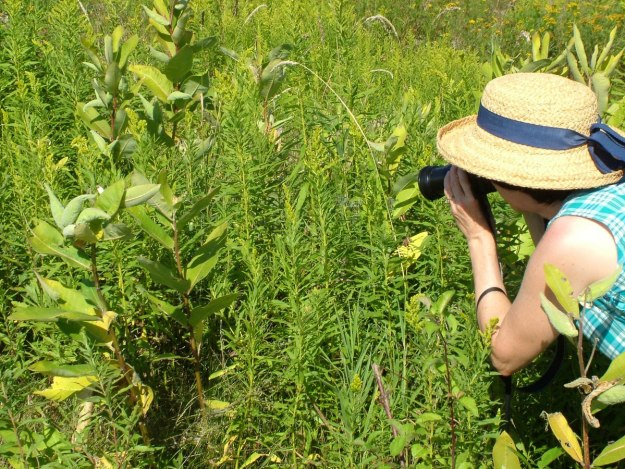 taking pic of monarch butterfly chrysalis at tommy thompson park