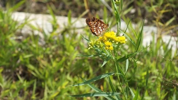 Atlantis Fritillary butterfly - mizzy lake trail - algonquin park - ontario - pic 2