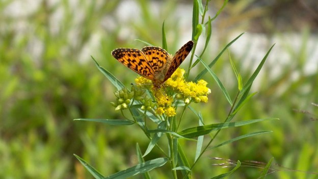 Atlantis Fritillary butterfly - mizzy lake trail - algonquin park - ontario - pic 3