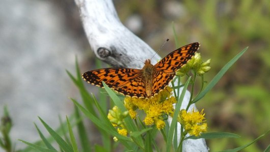 Atlantis Fritillary butterfly - mizzy lake trail - algonquin park - ontario - pic 7