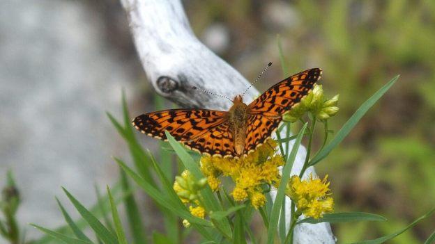 Atlantis Fritillary butterfly - mizzy lake trail - algonquin park - ontario - pic 7
