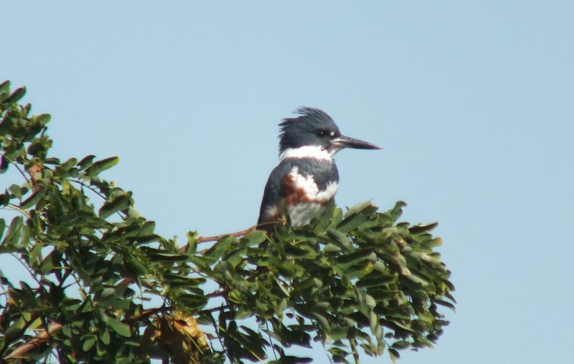 belted kingfisher at col sam smith park - etobicoke - ontario 2