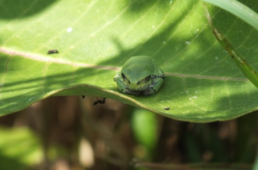 Eastern Gray treefrog sitting on leaf at Atkinson Park Wetlands in Aurora, Ontario, Canada
