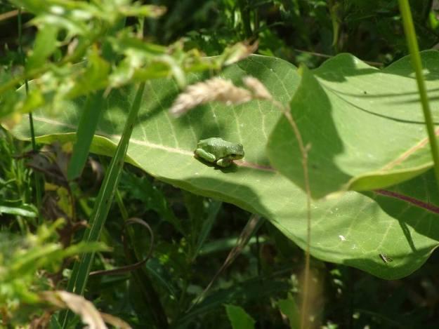 Eastern grey treefrog at Atkinson Park Wetlands, Aurora, Ontario, Canada