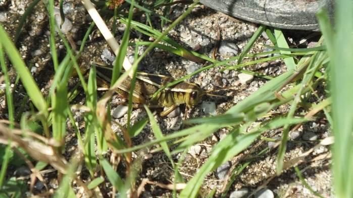 grasshopper - atkinson park wetland, aurora - pic 1