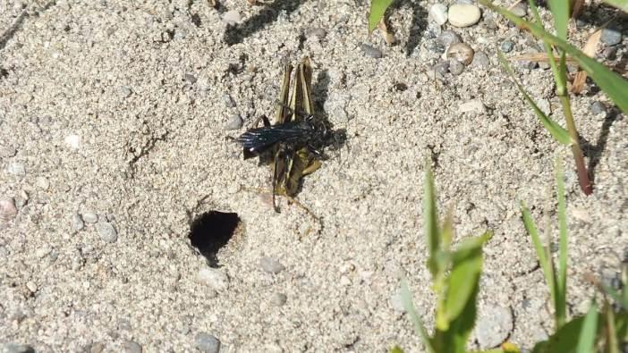 great black digger wasp with grasshopper - atkinson park wetland, aurora - pic 4