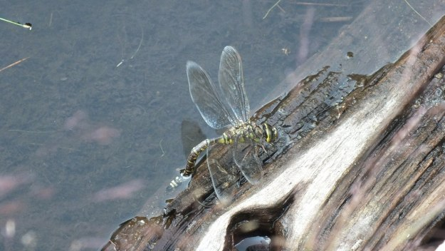 lance-tipped darner dragonfly along mizzy lake trail - algonquin park - ontario pic 1