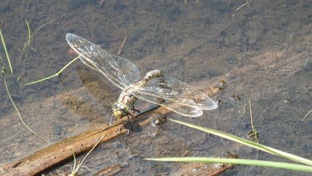 lance-tipped darner dragonfly along mizzy lake trail - algonquin park - ontario pic 4