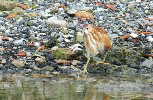 least bittern bird walking along shoreline