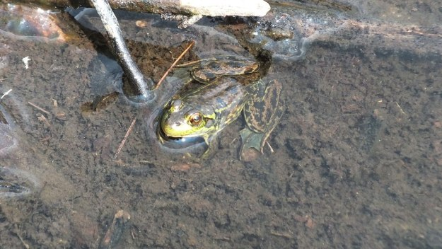 Mink frog along the Mizzy Lake Trail in Algonquin Park, Ontario