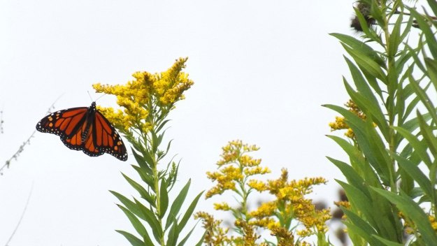 monarch butterflies on goldenrod at colonel sam smith park - etobicoke - ontario 2