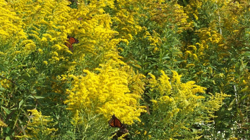 monarch butterflies on goldenrod at colonel sam smith park - etobicoke - ontario 4