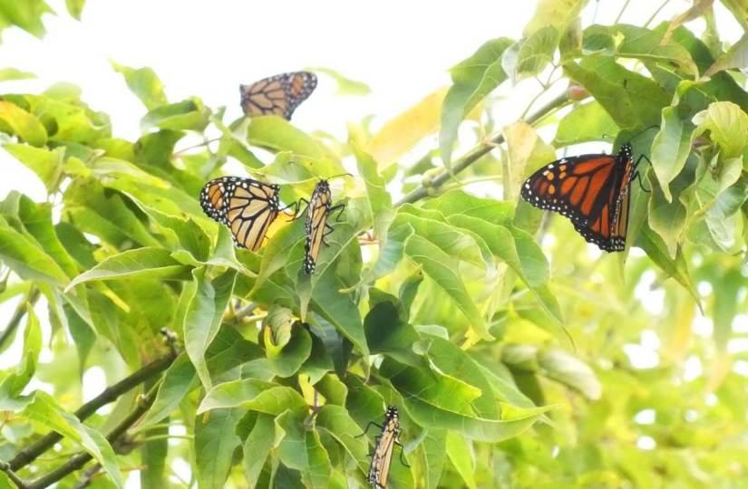 monarch butterflies - tree 1 - at colonel sam smith park - etobicoke - ontario 3
