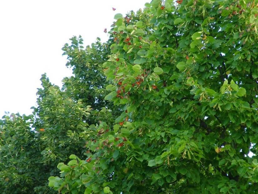 monarch butterflies - tree 3 - at colonel sam smith park - etobicoke - ontario 1