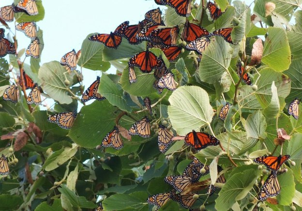 monarch butterflies - tree 3 - at colonel sam smith park - etobicoke - ontario 11