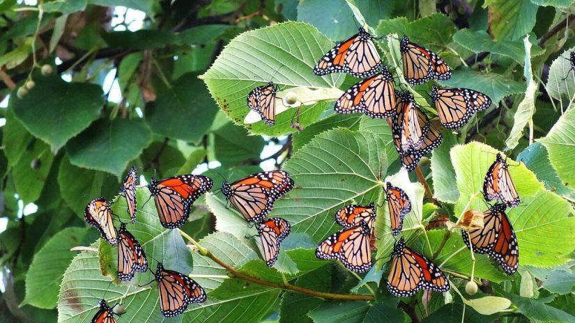 monarch butterflies - tree 3 - at colonel sam smith park - etobicoke - ontario 18