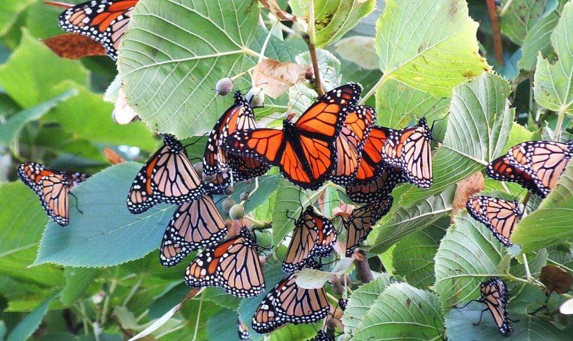 monarch butterflies - tree 3 - at colonel sam smith park - etobicoke - ontario 20