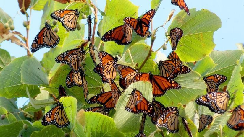 monarch butterflies - tree 3 - at colonel sam smith park - etobicoke - ontario 21