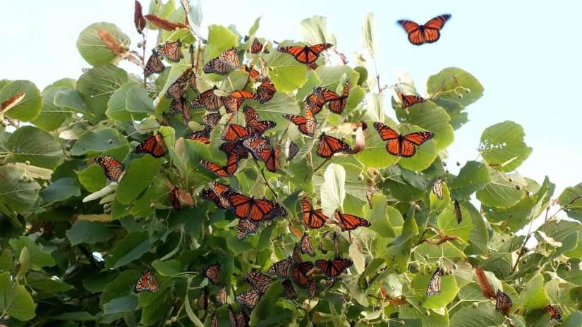 monarch butterflies - tree 3 - at colonel sam smith park - etobicoke - ontario 23