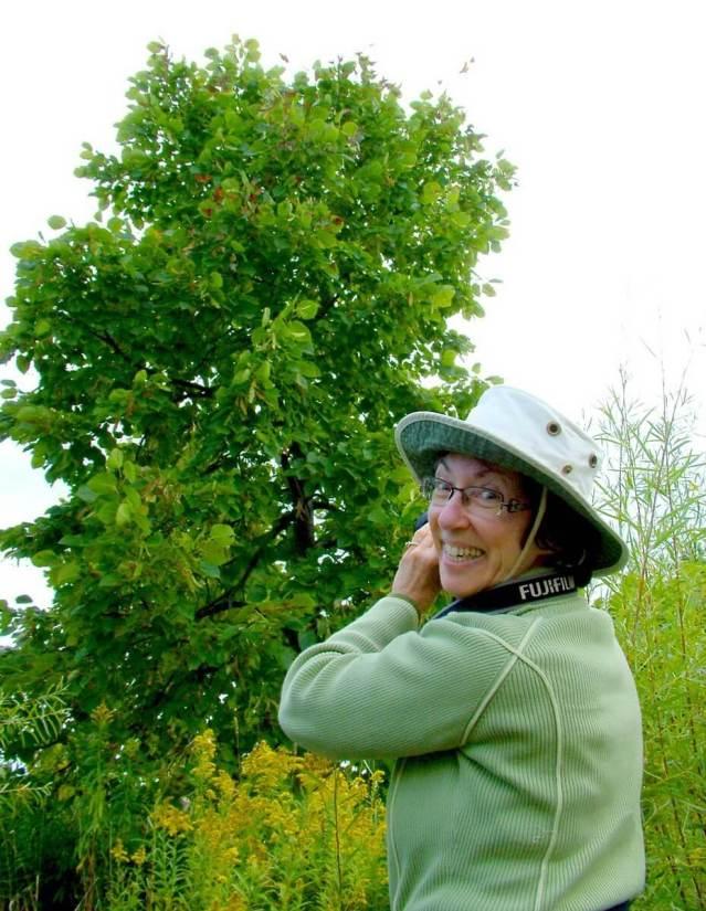 monarch butterflies - tree 3 - at colonel sam smith park - etobicoke - ontario 3