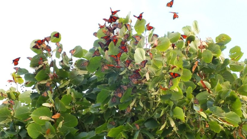 Monarch butterflies fluttering at Colonel Samuel Smith Park, Etobicoke, Ontario 8