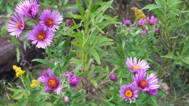 new england aster at colonel sam smith park - etobicoke