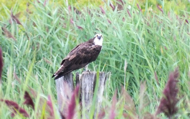 osprey at tommy thompson park - toronto - ontario 5