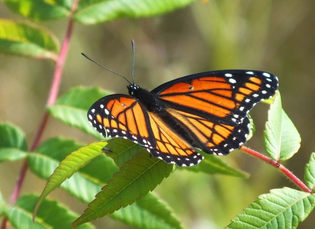 viceroy butterfly at tommy thompson park - toronto - ontario 2