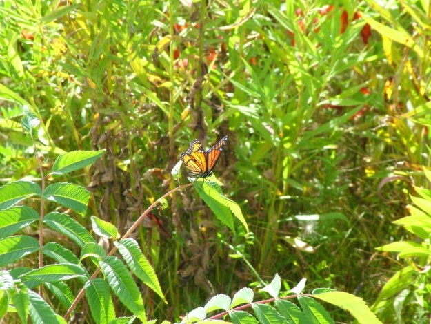 viceroy butterfly at tommy thompson park - toronto - ontario 7