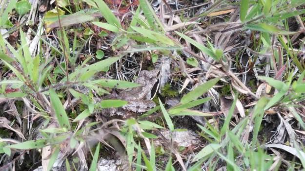 wood frog - mizzy lake trail - algonquin park - ontario