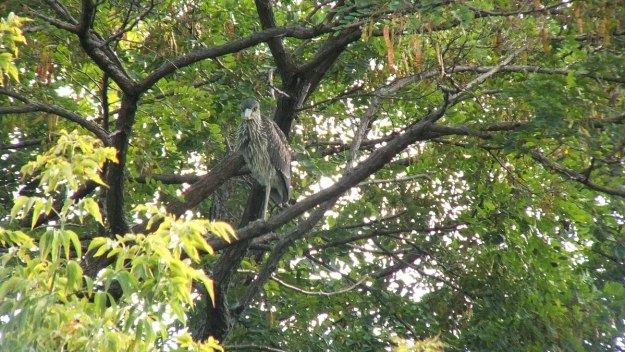 yellow crowned night heron - juvenile - col sam smith park - etobicoke pic 12