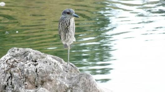 yellow, crowned, night heron, juvenile, colonel samuel smith park, etobicoke, toronto, bird, wildlife, photography