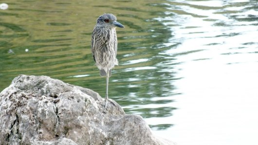 yellow, crowned, night heron, juvenile, colonel samuel smith park, etobicoke, toronto, bird, wildlife, photography